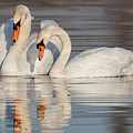 Mute Swans by Jerry Fornarotto