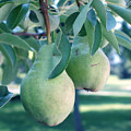 My Brothers Pear Tree by Wayne Potrafka