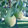 My Brothers Pear Tree by Wayne Potrafka