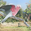 My Country - Galah by Frances McMahon