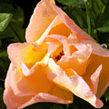 My Favorite Rose by William Tasker