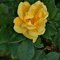 My First Yellow Rose by Marsha Heiken
