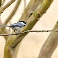 My Little Chickadee by Keith Smith