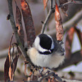 My Little Chickadee by Darin Bokeno