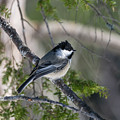 My Little Chickadee II by Ron Dubreuil