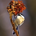 My Little Chickadee by Robert Pearson