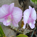 My Orchid # 15 by Fiona Dinali