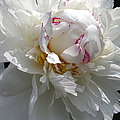 My Peony by Mary Ellen Mueller Legault