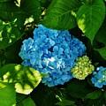 My Pride And Joy Hydrangea by Jeanne Perrone