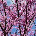 My Redbuds In Bloom by Maria Urso