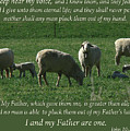 My Sheep Hear My Voice by Kim Hawkins Eastern Sierra Gallery
