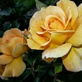 My Yellow Rose by Timothy Porter