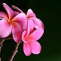Pink Plumeria by Sharon Mau