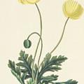 Naked Stalked Poppy by Margaret Roscoe