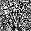Naked Tree On Capitol Hill by Val Black Russian Tourchin