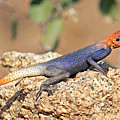 Namib Rock Agama, Male by Aivar Mikko