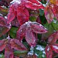 Nandina Winter Ice by Douglas Barnett