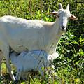 Nanny And Kid Goat by Robert Hamm