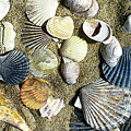 Nantucket Shells by Joanne Riske