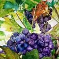Napa Harvest by Lance Gebhardt