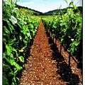 Napa Rows Of Grapes by Joan  Minchak