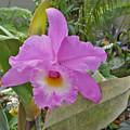 Naples Orchid 3 by Pam Schmitt
