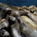 Napping Atop A Massive Sea Lion by Susan Wiedmann