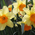 Narcissus Fortissimo by Judy Whitton