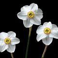 Narcissus 'poeticus' by Ann Jacobson
