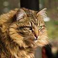 Nari A Maine Coon Cat by Shari Nees