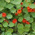 Nasturtiums by Gale Cochran-Smith