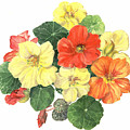 Nasturtiums by Maureen Carter