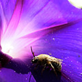 Native Bee On A Purple Flower by Roger Medbery
