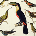 Native Birds, Including The Toucan From The Amazon, Brazil by V Raineri