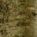 Native Tree by Douglas Barnett