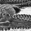 Gator 2 18 by John Hintz