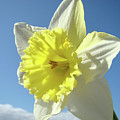 Nature Daffodil Flowers Art Prints Spring Nature Art by Baslee Troutman