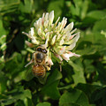 Nature In The Wild - Clover Honey by Lucyna A M Green