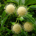 Nature In The Wild - Pin Cushions Of Nature by Lucyna A M Green