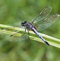 Nature Macro - Blue Dragonfly by Carol Groenen