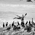 Nature Pelicans Rock  by Chuck Kuhn