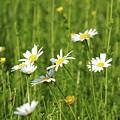 Nature Spring Scene White Wild Flowers by Goce Risteski