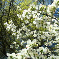 Nature Tree Landscape Art Prints White Dogwood Flowers by Baslee Troutman
