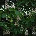 nature Ukraine blooming chestnuts by Tetiana Manzhak