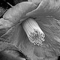 Nature's Beauty In Black And White by Arlane Crump