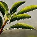 Early Morning Raindrops by Carol F Austin
