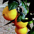 Naval Oranges On The Tree by D Hackett