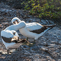 Nazca Or Masked Boobies In Courtship  Genovesa Island Galapagos Islands by NaturesPix