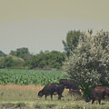 Nebraska Farm Life - Black Cows Grazing by Colleen Cornelius