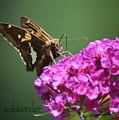 Nectaring Moth by Debra Bender